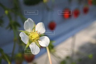 いちごの花の写真・画像素材[989903]