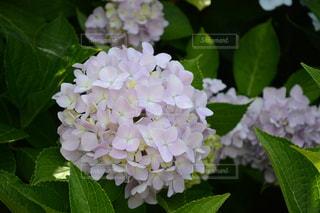 紫陽花の写真・画像素材[989951]