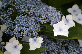 紫陽花の写真・画像素材[989952]