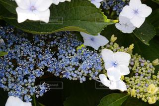 紫陽花の写真・画像素材[989954]