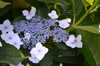 紫陽花の写真・画像素材[989955]