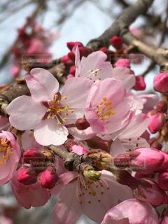 桜の花の写真・画像素材[1051161]