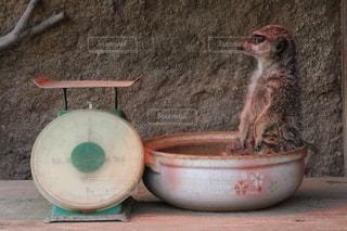 鍋に入ってるミーアキャットの写真・画像素材[989463]