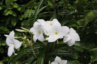 南の島の花 - No.993768