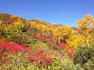燕岳の紅葉の写真・画像素材[1215579]