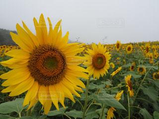 黄色の花 - No.989644