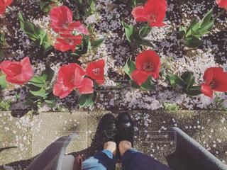 チューリップと桜と私の写真・画像素材[1019305]