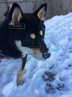 雪が大好きな柴犬 - No.990490