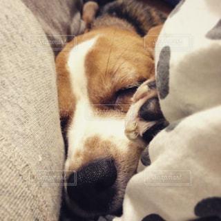 近くにベッドの上で寝ている犬のアップの写真・画像素材[990775]