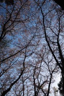 森の大きな桜の木の下からの写真・画像素材[990922]