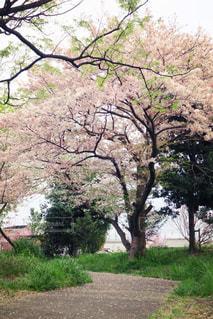 近くの桜の木の写真・画像素材[990924]