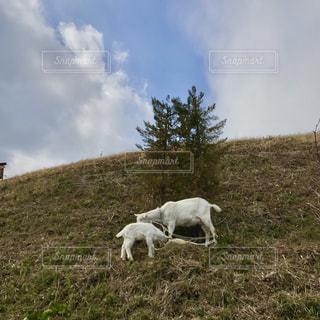 ガーデニングショップの裏の丘にいた仔山羊の親子の写真・画像素材[1004720]