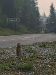 カナダ ルイーズ湖近くの道端にいるリスの写真・画像素材[1424387]
