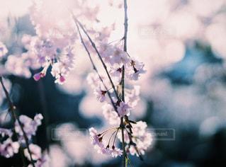 桜の写真・画像素材[2802050]