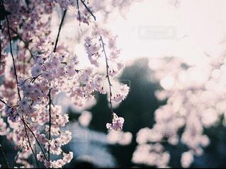 桜②の写真・画像素材[2802057]