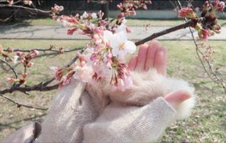 桜と私 - No.1083005