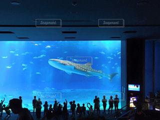 沖縄美ら海水族館のジンベエザメの写真・画像素材[991408]
