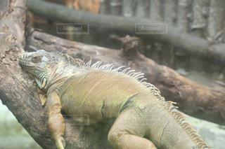 枝にトカゲの写真・画像素材[991516]