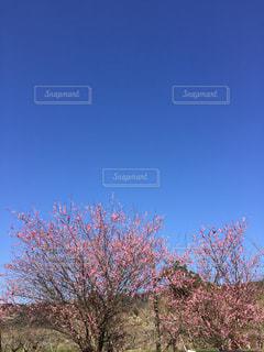 梅の花と空の写真・画像素材[991702]