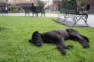 芝生で寝ている黒い大型犬の写真・画像素材[992150]