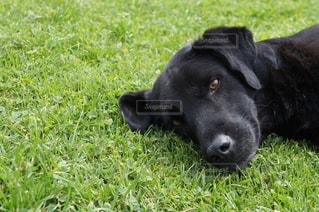 芝生に横たわる黒い犬の写真・画像素材[992486]