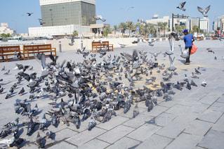 鳩の群れの写真・画像素材[995841]
