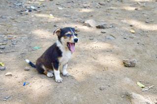 野生の子犬の写真・画像素材[996986]