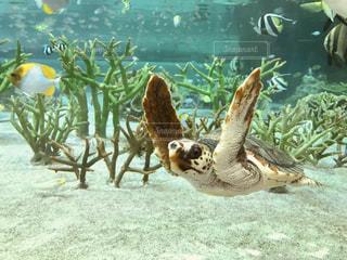 ウミガメの写真・画像素材[998980]