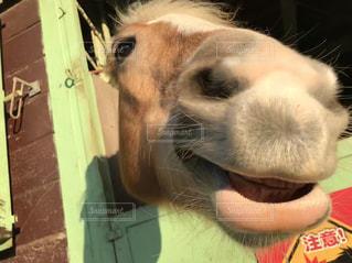 馬のスマイルの写真・画像素材[1002895]