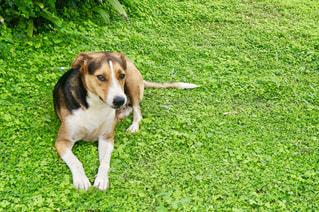 芝生の上の犬の写真・画像素材[1144717]