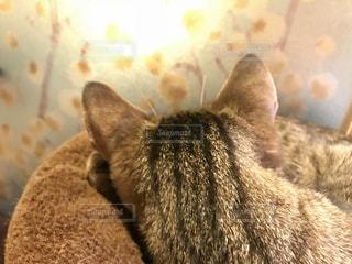 ネコ耳の写真・画像素材[1679419]