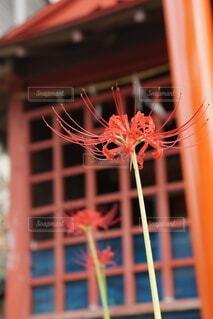 赤い建物と彼岸花の写真・画像素材[4814453]