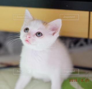 その口を開いて白猫の写真・画像素材[992038]