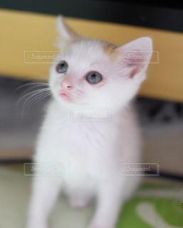 灰色と白猫がテーブルに座っての写真・画像素材[992039]