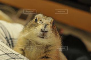 カメラを見て齧歯動物の写真・画像素材[992044]