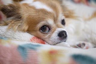 近くにベッドの上で横になっている犬のアップ - No.992889