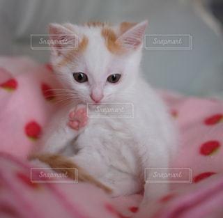 白い毛布の上に座っている猫の写真・画像素材[992890]