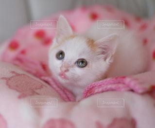 ピンクの毛布の上に横たわる猫の写真・画像素材[992891]