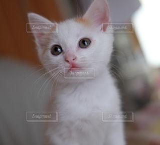 カメラを見ている猫の写真・画像素材[992892]
