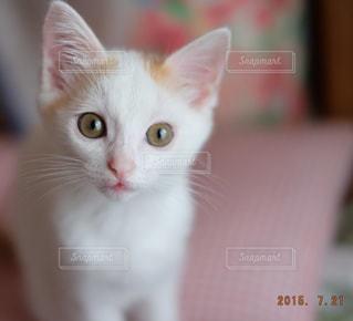 カメラを見ている猫の写真・画像素材[992893]