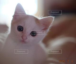 カメラを見ている猫の写真・画像素材[992894]