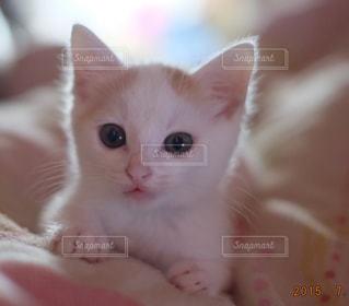 毛布の上に横になっている猫の写真・画像素材[992897]