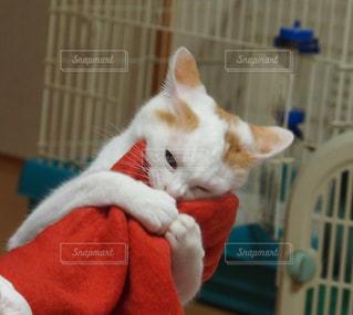 その口を開いてオレンジと白猫の写真・画像素材[994956]