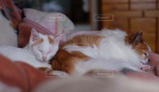 ベッドの上で横になっているオレンジと白猫 - No.994958