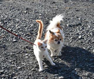 ひもに茶色と白犬の写真・画像素材[994962]