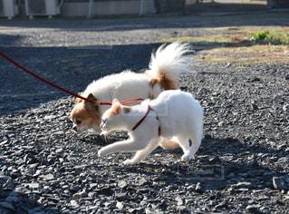 ひもに茶色と白犬の写真・画像素材[994963]