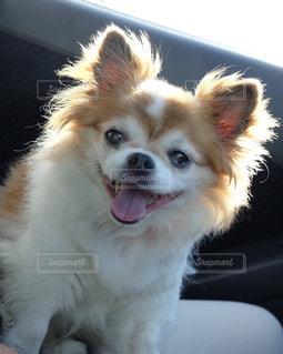 車の上に座っている小さな茶色と白犬の写真・画像素材[1629188]