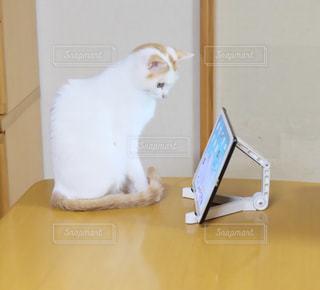 テーブルの上に座って猫の写真・画像素材[1652946]