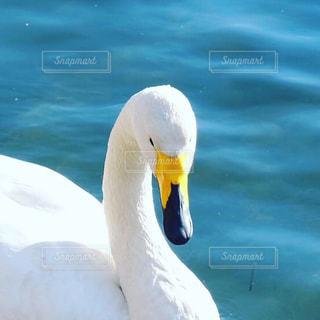 水体で泳ぐ白鳥の写真・画像素材[1665874]