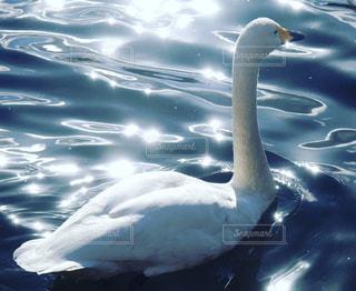水体で泳ぐ白鳥の写真・画像素材[1665877]